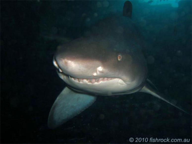 Nurse Shark in the cave